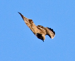 Hawk.attack.1